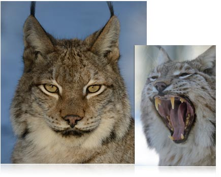 Two photos of a wild cat, one a close up portrait, the other of the cat's mouth open in a yawn taken with the AF-S NIKKOR 80-400mm f/4.5-5.6G ED VR
