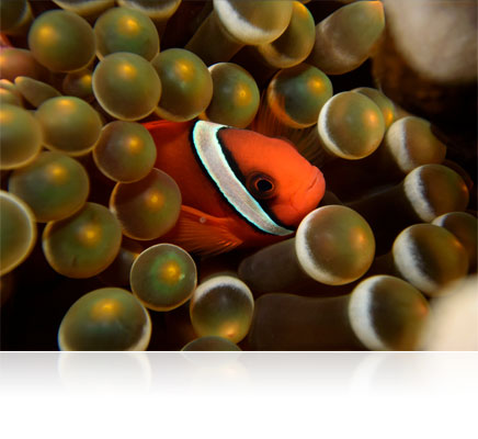 Photo of a clownfish shot using a Nikon 1 camera in the WP-N3 waterproof housing