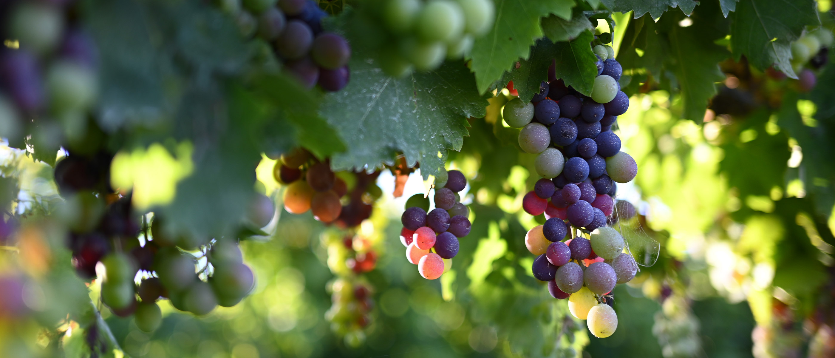 photo of grapes on a vine, taken using the NIKKOR Z 40mm f/2