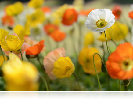 Photo of a field of orange and yellow flowers and one white flower with shallow depth of field or bokeh shot with the 1 NIKKOR 32mm f/1.2 lens