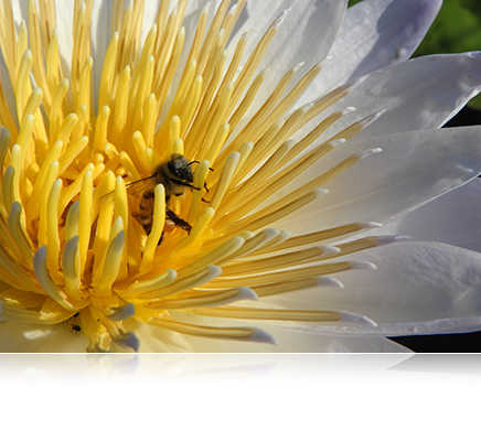 COOLPIX B700 photo of a bee on a yellow and white flower