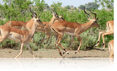 COOLPIX B700 photo of gazelles leaping in the jungle