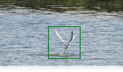 Photo of a seagull in flight and the AF focus box showing subject tracking