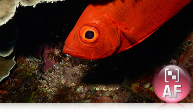 COOLPIX AW130 underwater photo of a red fish and the Target Finding AF icon