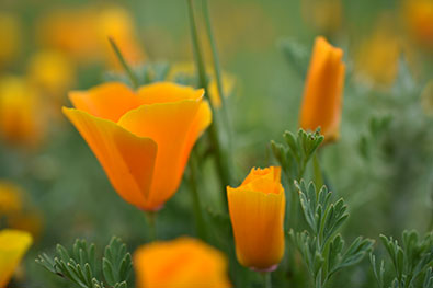 D3400 photo of orange poppies