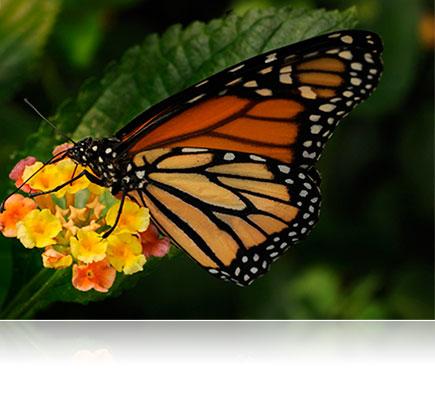 Photo d'un papillon éclairé avec le système de flashs sans fil R1C1 pour plans rapprochés