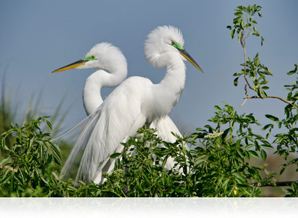 Foto de dois pássaros brancos entre arbustos verdes, tirada com a lente AF-S DX NIKKOR 18-300mm f/3.5-5.6G ED VR.