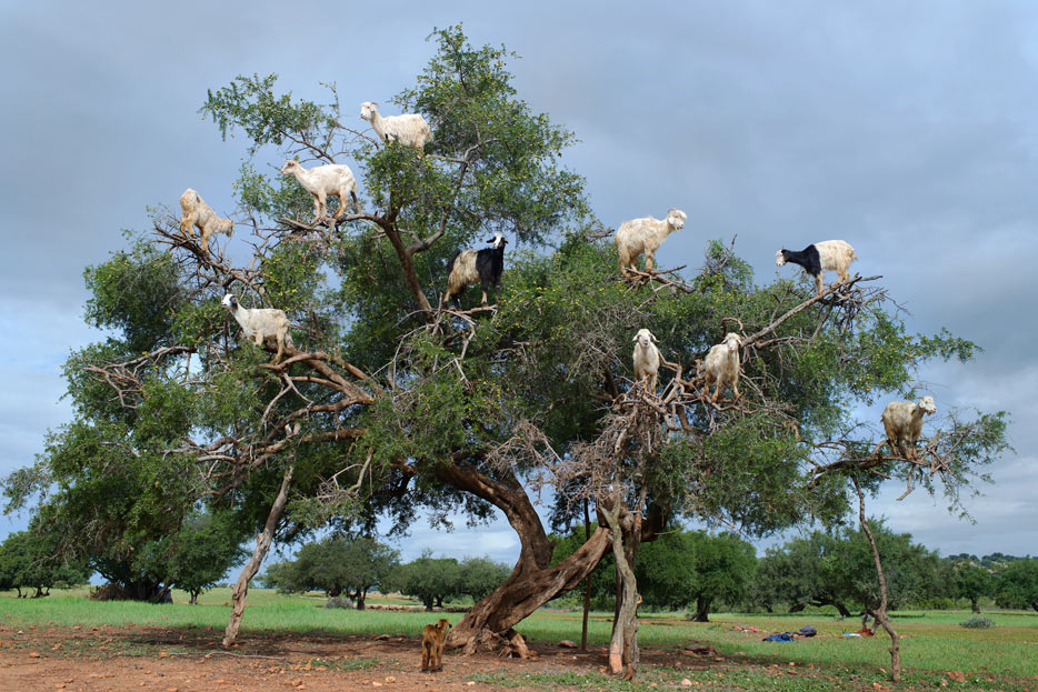 Photo of goats in a tree shot with the AF-S NIKKOR 35mm f/1.4G lens
