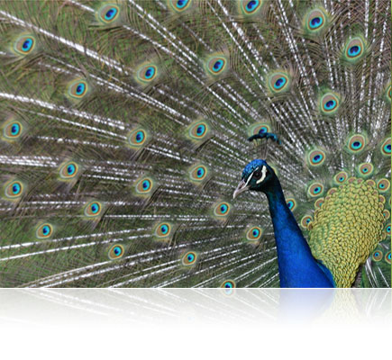 photo of a peacock close up shot with the AF-S NIKKOR 200-500mm f/5.6E ED VR