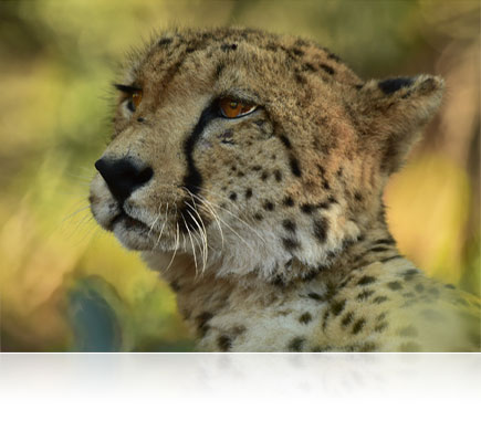 Photo of a baby cheetah close up, shot with the AF-S NIKKOR 600mm f/4E FL ED VR lens