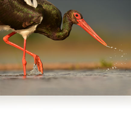 Photo of a bird, close up, splashing water from its beak, shot with the AF-S NIKKOR 600mm f/4E FL ED VR lens