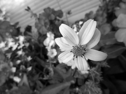 A photo of a flower shown with Nostalgic Sepia and Black and White applied.