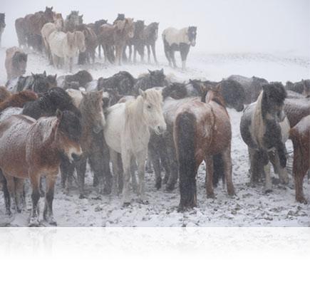 Photo of horses in snow, shot with the AF-S DX NIKKOR 16-80mm f/2.8-4E ED VR lens