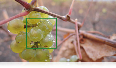 Photo of grapes on a vine with the AF box overlayed
