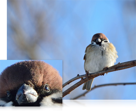 Photo of a bird on a branch and close-up inset of the bird's face showing high resolution