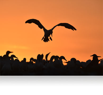 Photo of a bird in flight silhouetted over a flock of birds, with an orange sky, shot with the AF-S NIKKOR 600mm f/4E FL ED VR lens